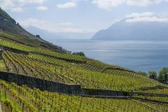 Winniców tarasy przy Lavaux jeziorem Genewa Obrazy Stock