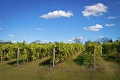 Winniców winogrady Obrazy Royalty Free