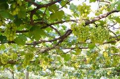 Winniców winogrona świezi w winnicy zdjęcie royalty free