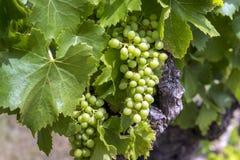 Winniców zieleni krzaki z rosnąć białego winogrona, Fotografia Stock
