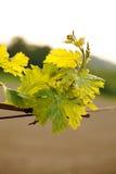 Winnica Zdjęcie Royalty Free