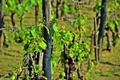 Winnica Obraz Royalty Free