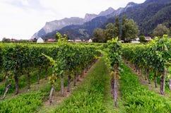 Winnica blisko Jenins, Szwajcaria Fotografia Royalty Free