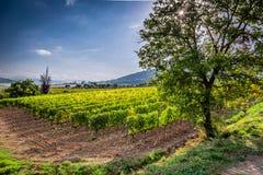 Winnica blisko Montalcino w Tuscany zdjęcia royalty free