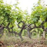Winnica Gronowy drzewa gospodarstwo rolne Zdjęcie Royalty Free