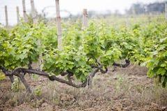Winnica Gronowy drzewa gospodarstwo rolne błękitny Crimea wzgórzy krajobrazu nagi niebo Obraz Royalty Free