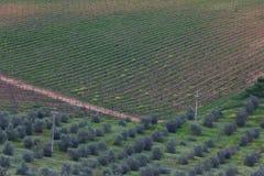 Winnica i oliwni gaje w Tuscany zdjęcie stock