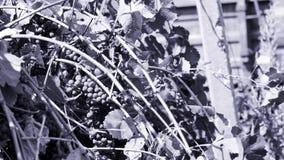 Winnica i wiatr zbiory wideo