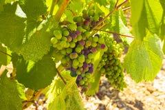 Winnica, Muszkatołowy wino, południe Francja zdjęcia stock