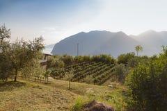Winnica na południowym skłonie Fotografia Royalty Free