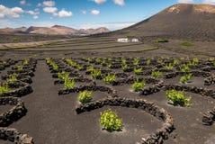 Winnica ochraniający przeciw wiatrowi na wyspie Lanzarote obrazy stock