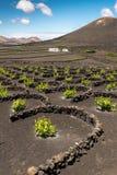 Winnica ochraniający przeciw wiatrowi na wyspie Lanzarote zdjęcie royalty free