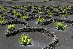 Winnica ochraniający przeciw wiatrowi na wyspie Lanzarote fotografia stock