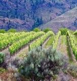 Winnica, Okanagon wina kraj, kolumbiowie brytyjska, kanadyjczyk obraz royalty free