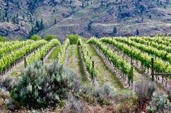 Winnica, Okanagon wina kraj, kolumbiowie brytyjska, kanadyjczyk obraz stock