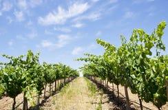 Winnica przy południe Portugalia obrazy stock
