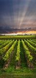 Winnica przy zmierzchem Fotografia Stock