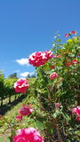 Winnica róże Obraz Stock