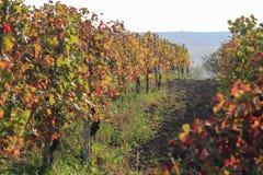 Winnica używać dla produkci Włoski wino obrazy royalty free