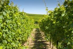 Winnica w Alsace Francja zdjęcia royalty free