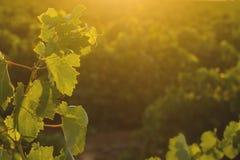 Winnica w Castilla - los angeles Mancha, Hiszpania Obrazy Royalty Free