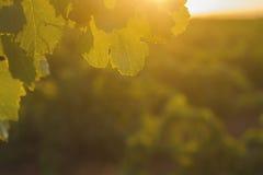 Winnica w Castilla losie angeles Mancha, Hiszpania Obraz Royalty Free