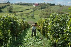 Winnica w Chorwacja Fotografia Royalty Free