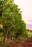 Winnica w Istria, Chorwacja Zdjęcia Stock