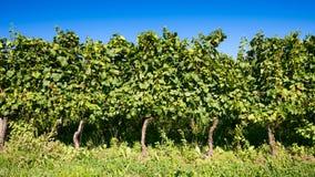 winnica włoski Obrazy Royalty Free