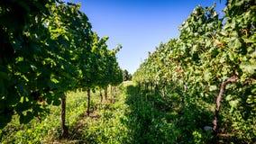 winnica włoski Obrazy Stock