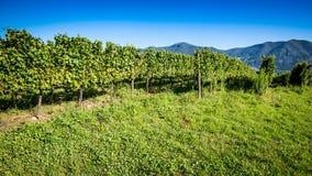 winnica włoski Zdjęcia Stock