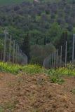 Winnica w wczesnej wiośnie w Tuscany Włochy z drzewami oliwnymi w półdupkach zdjęcia stock