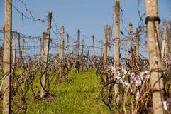 Winnica w wiośnie Fotografia Royalty Free