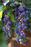 winnica winogron obrazy royalty free