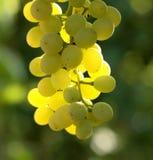 winnica winogron Zdjęcie Royalty Free