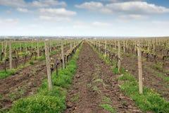 Winnica wiosny krajobrazowy sezon Zdjęcie Stock
