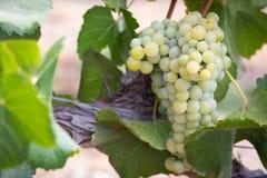 Winnica z Bujny, Dojrzali Wina Winogrona na Winogradzie Przygotowywającym dla Żniwa fotografia stock