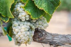 Winnica z Bujny, Dojrzali Wina Winogrona na Winogradzie Przygotowywającym dla Żniwa zdjęcia stock