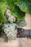 Winnica z Bujny, Dojrzali Wina Winogrona na Winogradzie Przygotowywającym dla Żniwa obrazy stock