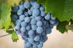 Winnica z Bujny, Dojrzali Wina Winogrona na Winogradzie Przygotowywającym dla Żniwa obraz stock