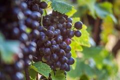 Winnica z dojrzałych winogron zamknięty up obraz royalty free