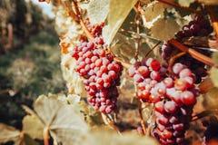 Winnica z dojrzałymi winogronami przy jesienią Piękni winogrona przygotowywający dla żniwa zdjęcia stock