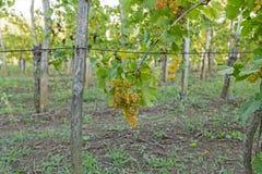Winnica z dojrzałymi winogronami Zdjęcie Royalty Free