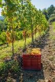 Winnica z dojrzałymi winogronami Zdjęcia Royalty Free
