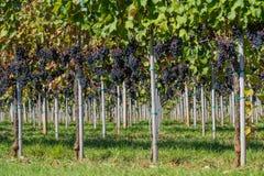 Winnica z dojrzałymi winogronami Zdjęcia Stock