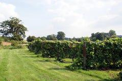 Winnica z rzędami gronowi winogrady na ramach Obraz Stock