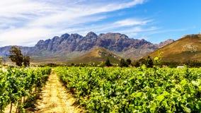 Winnicy i otaczające góry w wiośnie w Boland wina regionie Zachodni przylądek zdjęcie royalty free