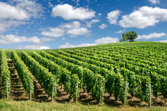 Winnicy krajobraz, Francja Obraz Royalty Free