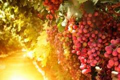 Winnicy krajobraz z dojrzałymi winogronami przy zmierzchem rocznik filtrujący wizerunek Zdjęcia Stock