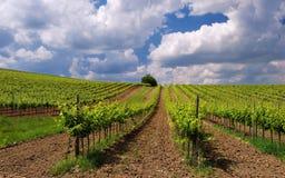 Winnicy krajobraz z pięknymi chmurami i niebieskim niebem w lecie Fotografia Royalty Free